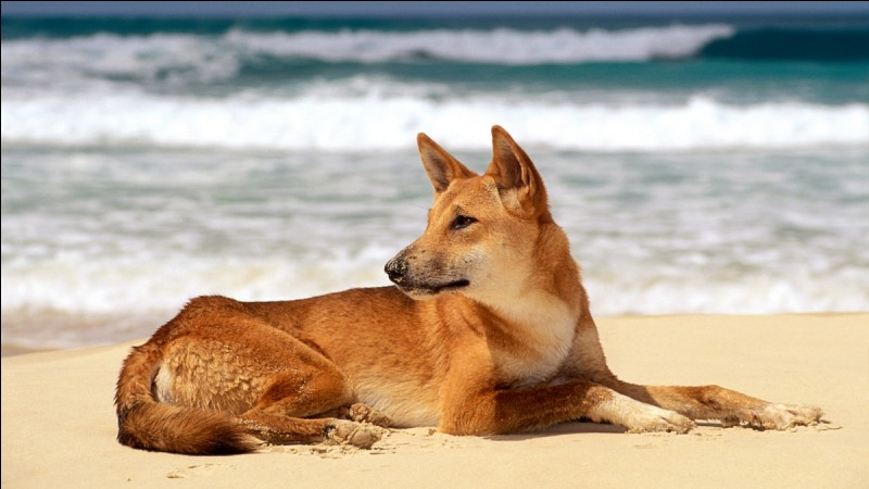 Quel est cet animal d'Australie en voie de disparition ?