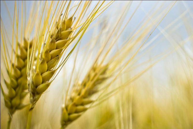 Pourquoi le récolte de blé est-elle menacée ?