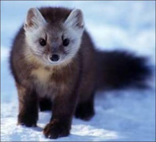 """Z - La """"zibeline"""" est recherchée pour sa fourrure d'hiver, soyeuse et dense."""