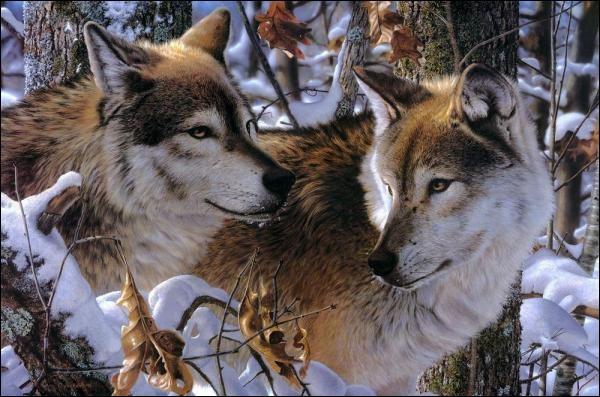 """L - Une meute de """"loups"""" est dirigée par un couple Alpha."""
