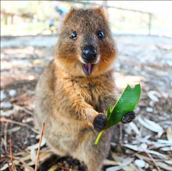 """Q - Ce petit marsupial d'Australie, surnommé """"l'animal le plus heureux du monde"""", est un """"quokka""""."""