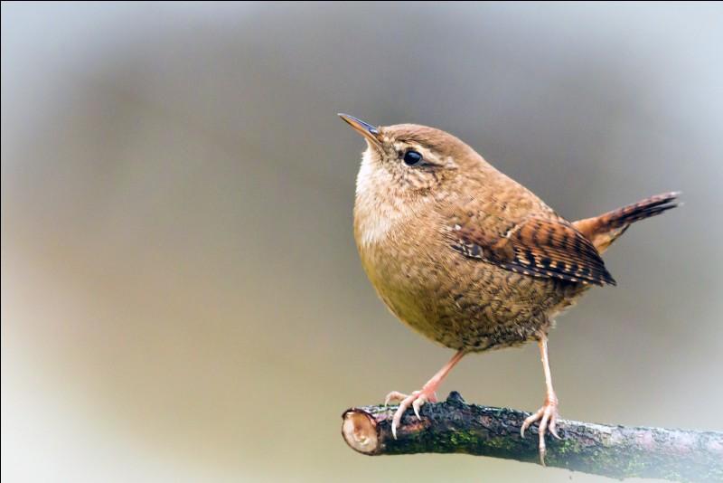 Quizz les oiseaux 4 quiz oiseaux for Oiseau marron