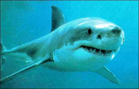 Combien d'espèces de requins existe t'il environ ?