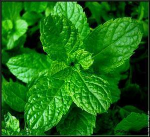 Quel est le nom de cette plante aux multiples vertus, qui apporte souvent une impression de fraîcheur ?