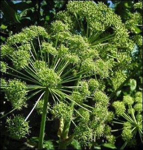Cette plante, de la famille des apiaceae, comprend plus de 70 espèces. Quel est son nom ?
