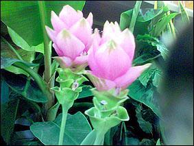 Plus souvent utilisée sous forme de poudre, cette herbe originaire d'Asie est également surnommée le 'safran des Indes'. Quel est son nom ?