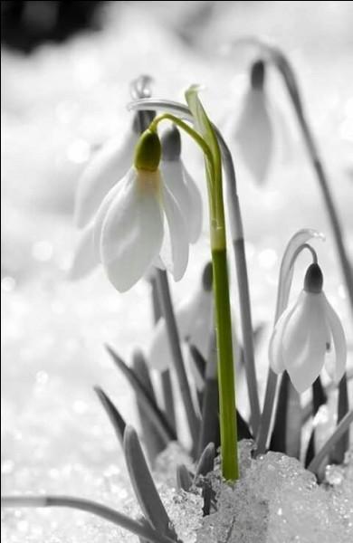 Que sont ces fleurs qui bravent la neige, dès les premières lueurs du printemps, depuis la réforme de l'Académie française ?