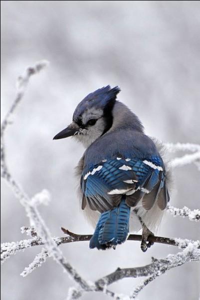 Quel est cet oiseau magnifique, sous la neige ?