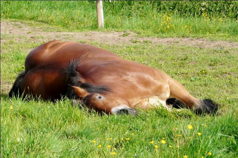Le cheval dort combien de temps au box ?