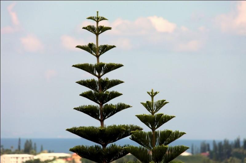 Pin de la famille des Araucariaceae et de Nouvelle-Calédonie, la tête vous fera lever.