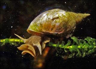 Un mollusque, gastéropode d'eau douce, vous reconnaîtrez.
