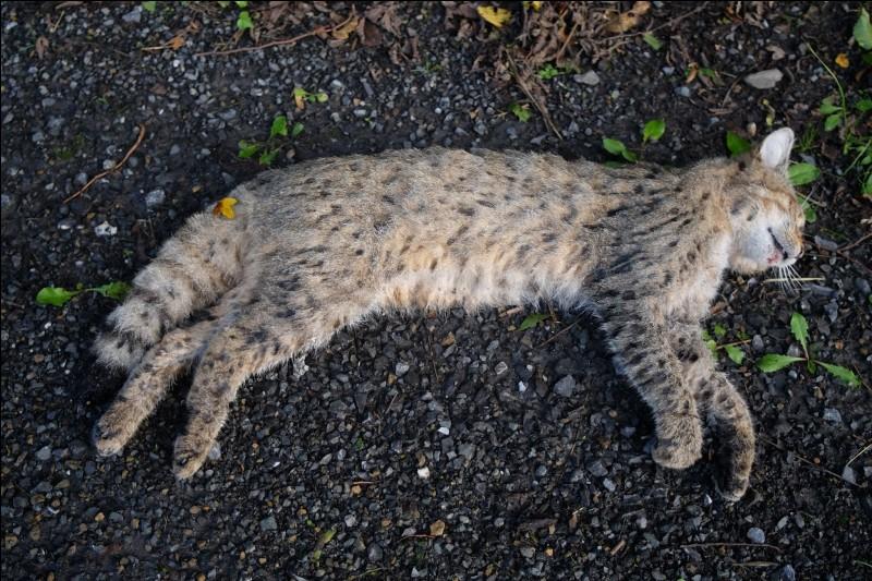 Qui trouve le cadavre de Petite Feuille ?