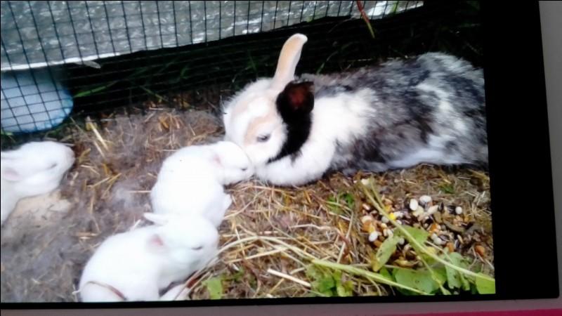 Comment vit le lapin ?