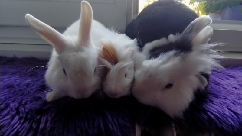 Le lapin est-il le cousin du cochon d'Inde ?
