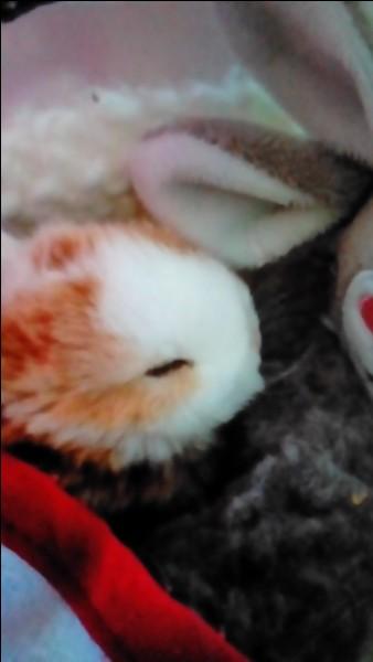 Combien de temps dure la gestation de la lapine ?