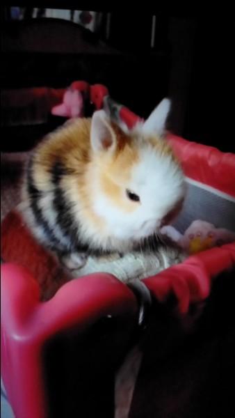 Par portée, combien de petits peut avoir la lapine ?