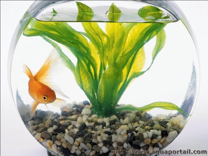 Quelle est la durée de vie d'un poisson rouge en aquarium ?