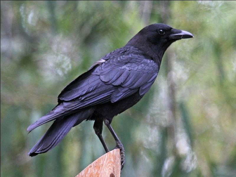 Comment se nomme le corbeau ?