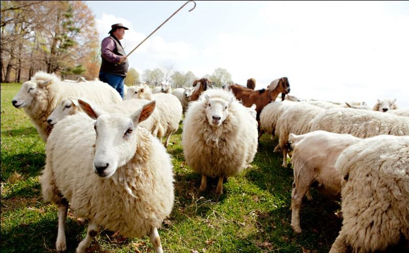 Resultado de imagem para pastor de ovelhas cajado