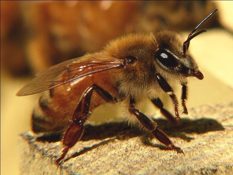 Qu'est-ce qui rime avec le nom de cet insecte de l'espèce Apis mellifera ?