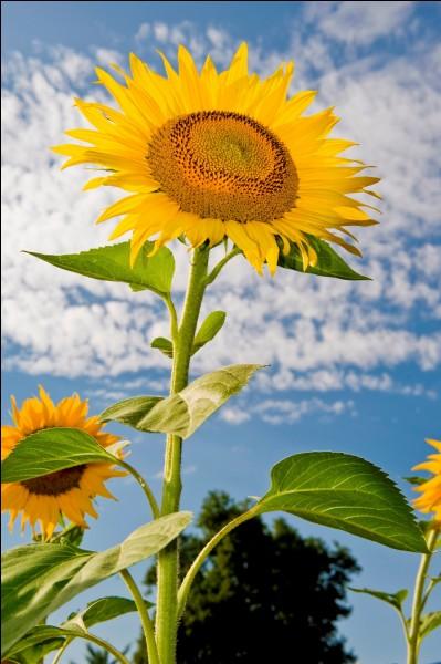 Trouvez ce qui rime avec le nom de cette grande plante annuelle, appartenant à la famille des Astéracées.