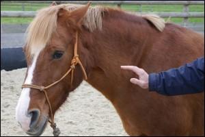 Quand le cheval a les oreilles en arrière c'est que ...