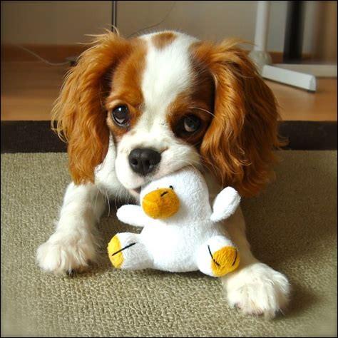 Une chienne nommée Tia, de race Mâtin napolitain, a donné naissance à une porté de...