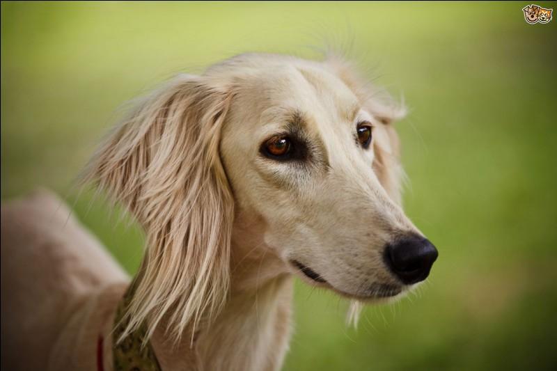 La plus vieille race de chien est le saluki, elle existe...