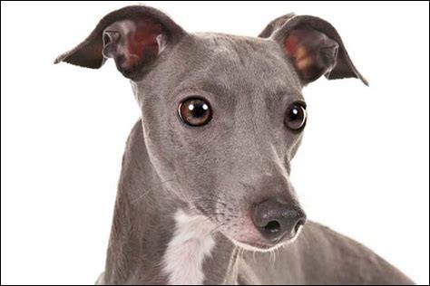 Le lévrier Greyhound est le chien le plus rapide du monde, il peut atteindre...