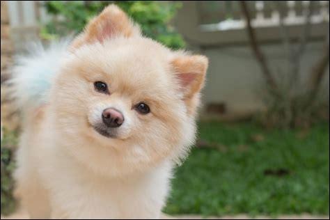 Le plus petit chien du monde est Boo Boo, un chihuahua de taille adulte, il mesure ____ de hauteur.