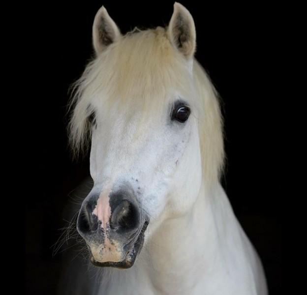 À qui appartient ce poney ?