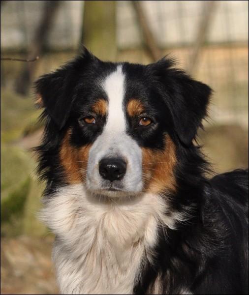 Connaissez-vous ce chien vif et intelligent ?