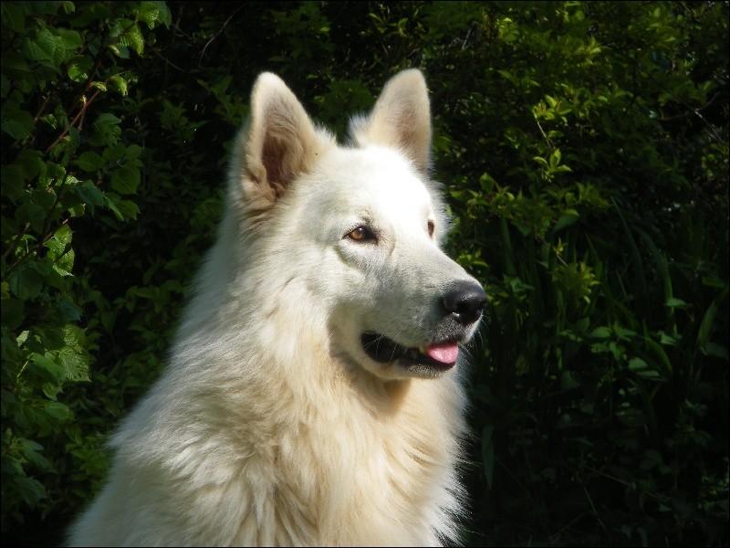 Comment s'appelle ce chien dont la race est reconnue depuis 2002 ?