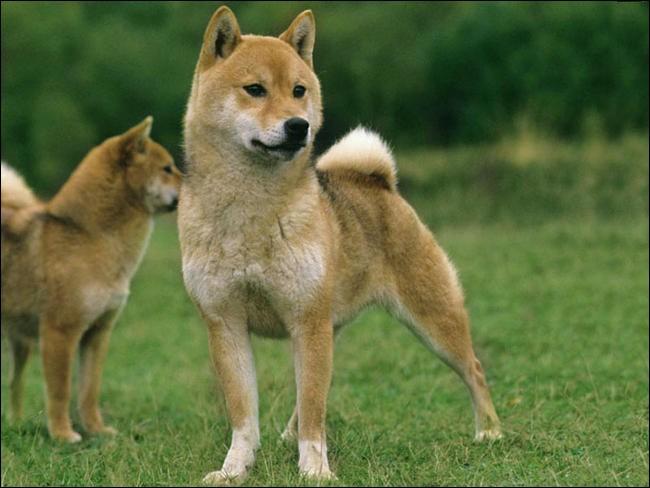 Quel est le nom de ce chien robuste et bien charpenté mais de petite taille ?