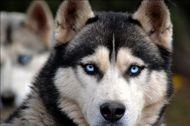 À quelle race appartient ce chien au regard limpide, habitué à vivre dans la neige et le froid et originaire de Sibérie ?