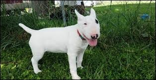 Ce chien est un terrier !
