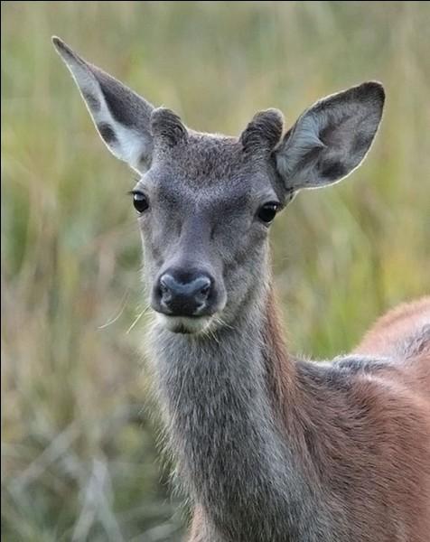 Quel nom donne-t-on à un jeune cerf âgé de 6 mois à un an et n'ayant pas encore ses premiers bois ?