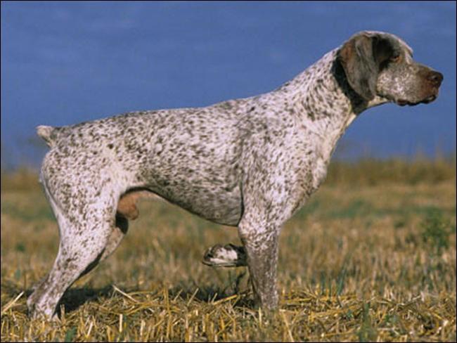Quel est ce chien d'arrêt de taille moyenne ?