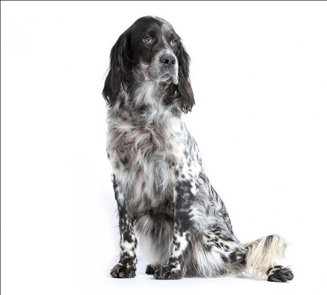 Comment se nomme ce chien de chasse aux poils un peu ondulés ?