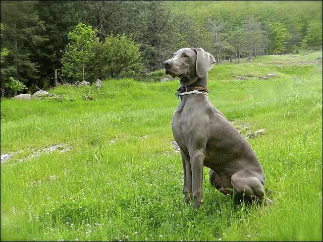 """Quel est ce chien de couleur gris argenté, qui existe aussi en version """"poils longs"""" ?"""