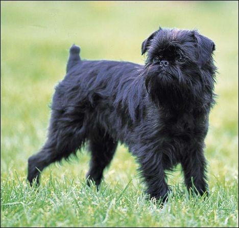 Ce chien est également classé dans les chiens d'agrément :