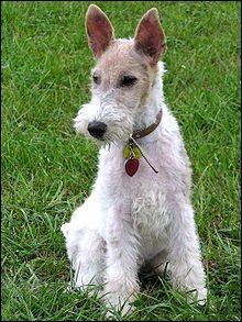 Milou, fait-il partie des chiens d'agrément et de compagnie classés dans le groupe 9 ?