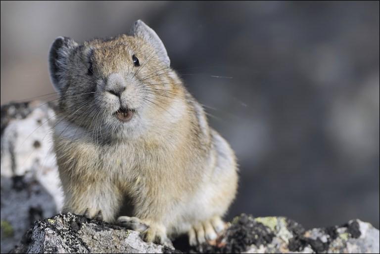 Cet animal adore les pentes rocheuses et escarpées !