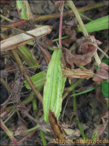 Le lotier est une Fabaceae, plutôt utilisé comme fourrage ou engrais vert. Il porte un autre nom : lequel ?