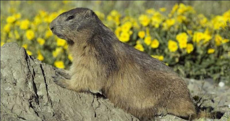 Ce mammifère vit en haute montagne et hiberne en hiver. C'est une mar...