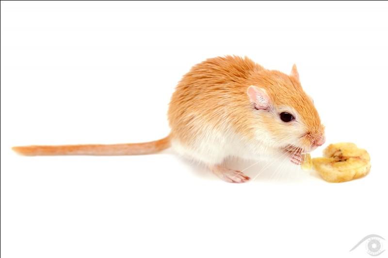 Quel est le nom de ce petit rongeur qui a une queue de même longueur que le corps ? C'est une ger... (Choisir l'image qui termine le mot.)