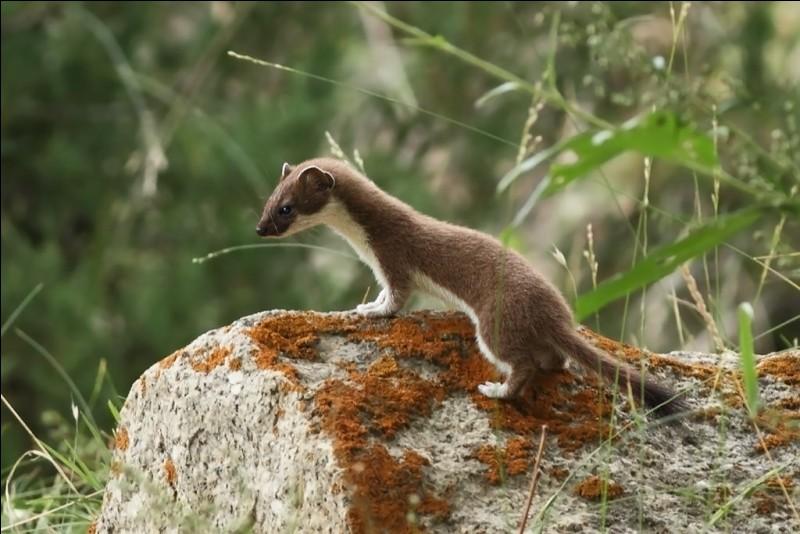 En hiver, cet animal devient blanc sauf l'extrémité de sa queue qui reste noire. C'est une her...