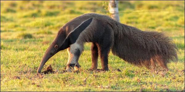 Ce mammifère est un fourmilier géant. C'est un tama...
