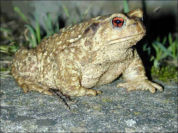Pour se protéger des prédateurs, il secrète un poison sur sa peau. C'est un cra...