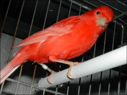 """Cet animal domestique est un oiseau appelé """"cana..."""""""